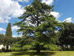 cedro-arbol-entero