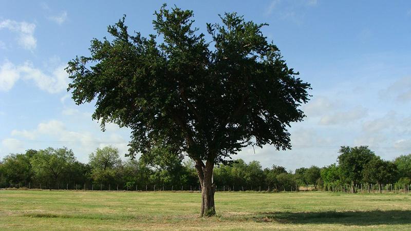 ebano-arbol