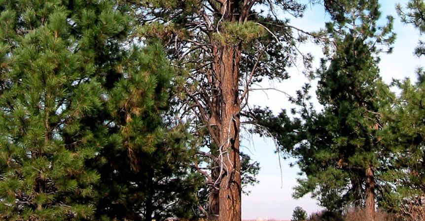 pinos-amarillos-del-oeste