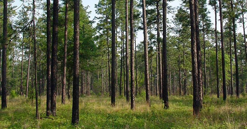 pinos-amarillos-del-sur