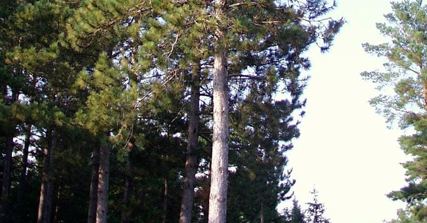 pinos-rojos-Pinus-resinosa